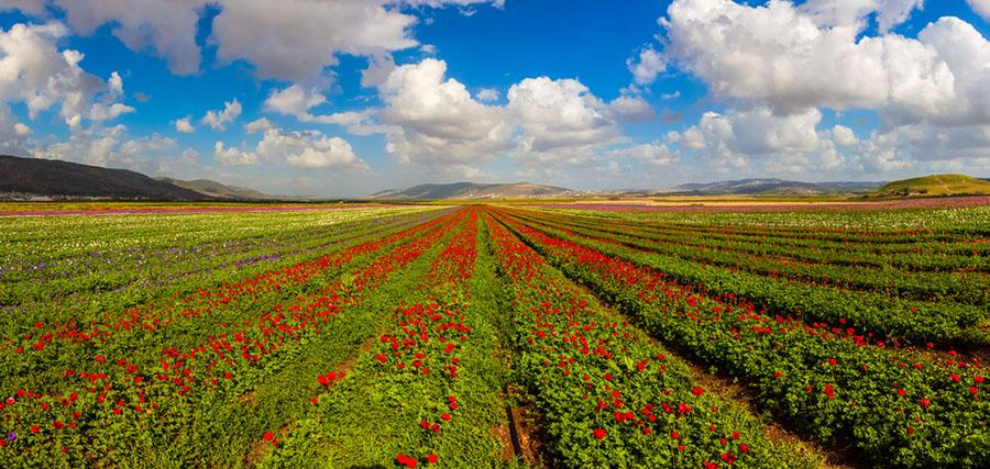 Golan Tepeleri Manzara: 1976'de Suriye'nin elinden çıkıp ilhak yoluyla İsrail'e katılan Golan Tepeleri'nden panoramik bir manzara..